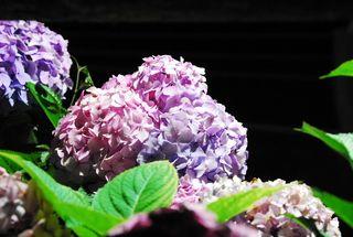 春野夜紫陽花 006