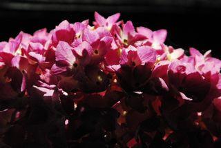 春野夜紫陽花 009