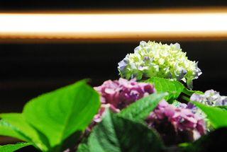 春野夜紫陽花 038