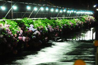 春野夜紫陽花 075